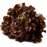Salát dubový červený - Itálie (bedna 12 kusů)