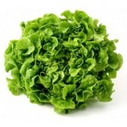 Salát dubový zelený - Itálie (bedna 12 kusů)